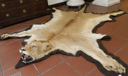 Alfombra de leona ANTES de ser TAXIDERMIZADA