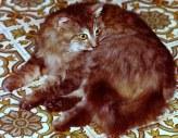 Gato domèstico