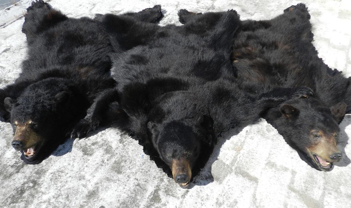 Alfombra de osos negros antes de taxidermizarlos