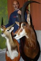 Impala, Sable
