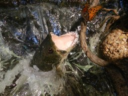 Tararira en resina cazando una mariposa (CARU)